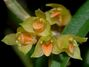 Bulbophyllum_mutabile.jpg