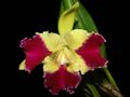 CAttleya_Blc__Kat_Red_Panda__Dragon_Cat_.jpg