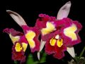 Cattleya_Blc__Chinese_Beauty.jpg