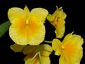 Dendrobium_capillipes.jpg