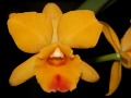 Cattleya_Pot_Free_Spirit_Yellow_Lee.jpg