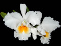 Cattleya_Blc_Eagle_eye_All_victory.jpg