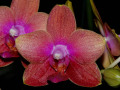 Phalaenopsis_Magical.jpg