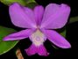 Cattleya_walkeriana.jpg